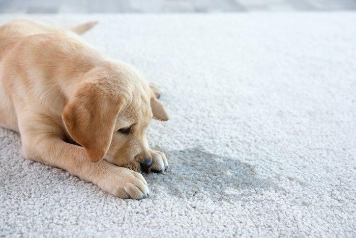 Hundewelpe liegt auf einem Teppich neben einem Fleck