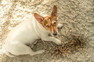 Hund neben Urinpfütze auf Teppich